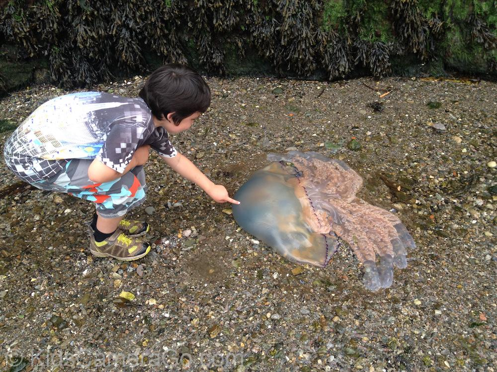 big jellyfish at Warfleet Creek near Dartmouth